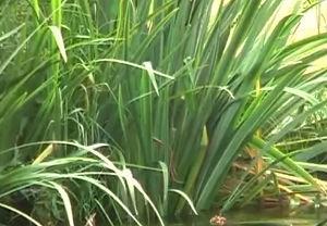 Kleinklärtechnik mit Pflanzen